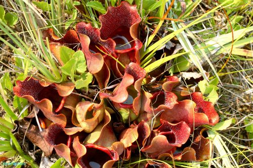 Pitcher Plant Communities